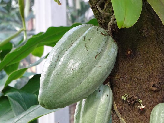 A healthy pod on a cocoa tree at the Garfield Park