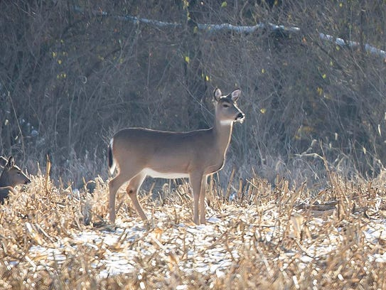 Deer forage for food near Walnut Woods Park on Tuesday