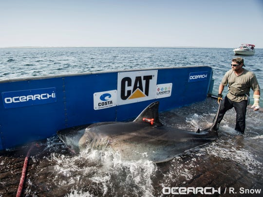 The Ocearch team prepares to capture and tag a 14-foot,