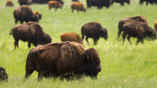Bison roam the prairie during a tour at the Durham Bison Ranch in Gillette, Wyo., July 2015.