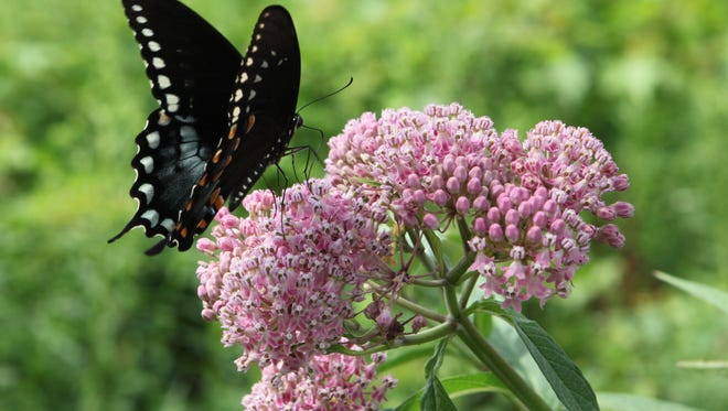 A swallowtail butterfly lands on Joe-pye weed at the Native Plant Center at Westchester Community College in Valhalla, July 23, 2013. The garden will be on view as part of the Open Days Program.