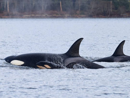 A newborn transient orca swims next to its mother shortly