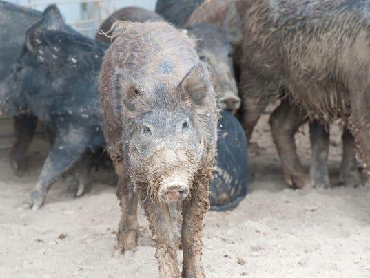 636638141078386880-feral-swine.jpg