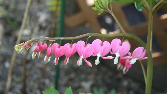 Bleeding hearts are ideal for planting in shade.