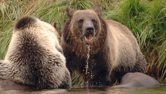 In June, the federal government announced Yellowstone grizzly bears would be delisted.