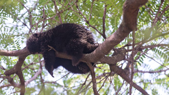 A porcupine lounges in the upper branches of a tree outside the People's United Bank building on Pine Street in downtown Burlington on Wednesday, Aug. 10, 2016.