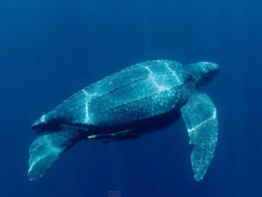 A leatherback sea turtle from Margherita Firenze's submission to the #MyIndyPrize video contest.