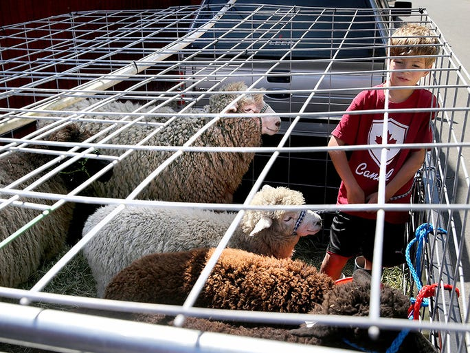 Gavin Campbell, 8, of Kingston stands with his sheep in their cage behind the sheep barn on Tuesday, August 23, 2016 as he and his mother Elizabeth get their pen ready for the start of the Kitsap County Fair and Stampede at the Kitsap County Fairgrounds.