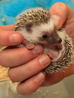 A baby hedgehog