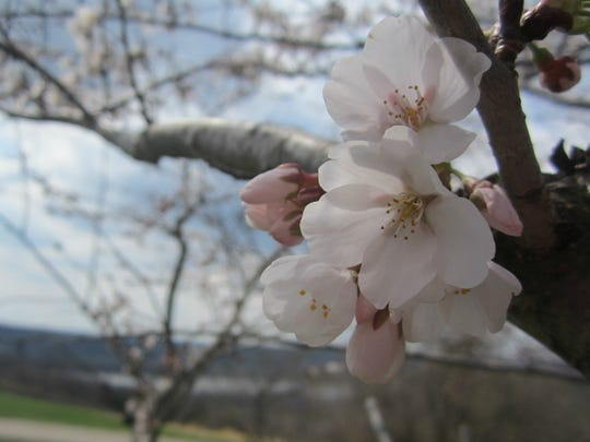 Cherry blossoms at Great Parks' Woodland Mound.