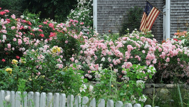 Betsy Ross's colonial flag presides over a rainbow of roses filling a yard along Rt 6A in Barnstable.