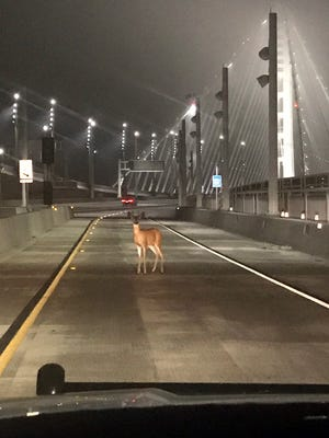 """This photo provided by the California Highway Patrol shows a doe, caught in the headlights of a CHP cruiser on the San Francisco-Oakland Bay Bridge early Tuesday morning, Aug. 29, 2017. Officers joked on a Twitter post they tried to stop the deer on the bridge """"for toll evasion,"""" and that she usually pays the toll but """"today she was a buck short."""" After staring at them for a couple of minutes, long enough for the officers to snap a photograph , the deer went back into the woods on Treasure Island. (Officer Sean Deise/California Highway Patrol via AP)"""