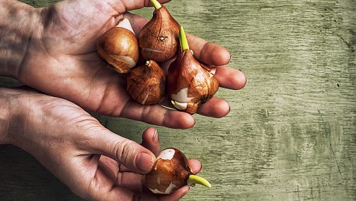 Plant bulbs now for spring flowers.
