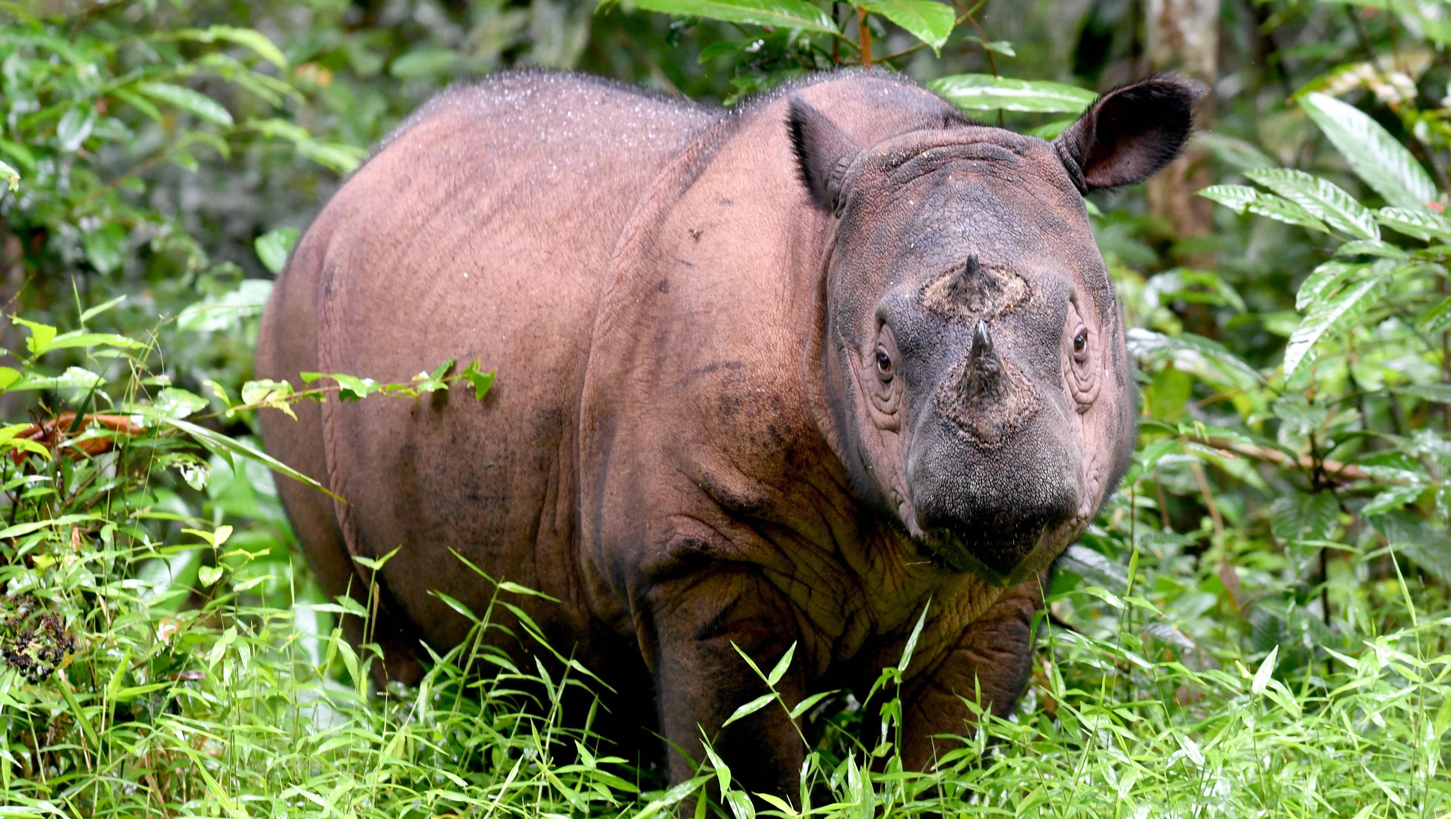 Malaysia S Last Sumatran Rhino Has Died Species Nearly Extinct