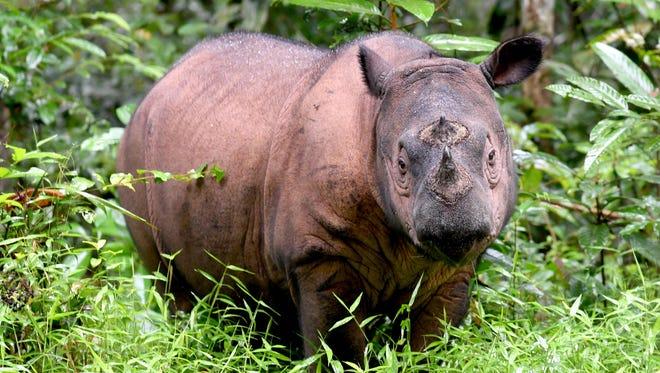 A Sumatran rhino.