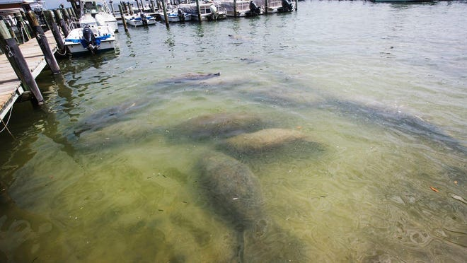 Manatees congregate at Jensen's Twin Palm Cottages and Marina Resort on Captiva on Wednesday, Feb. 26, 2020. The historic property has been for sale for a while. A separate property, Jensen's on the Gulf Beach Resort recently went up for sale as well.