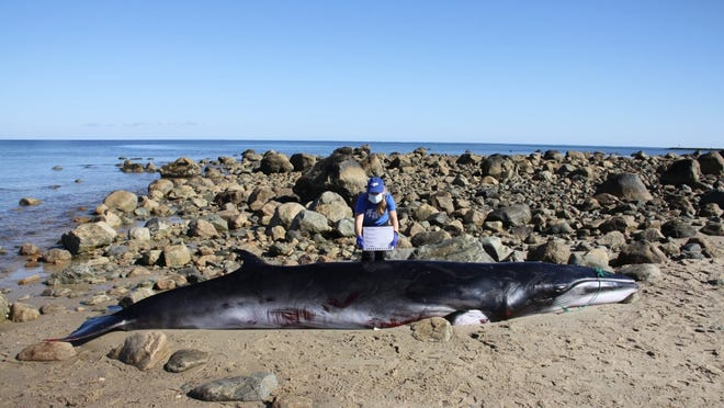 The International Fund for Animal Welfare's Marine Mammal Rescue Team responded to a report of deceased male minke whale stranded on a beach near Sesuit Harbor in Dennis Sunday.