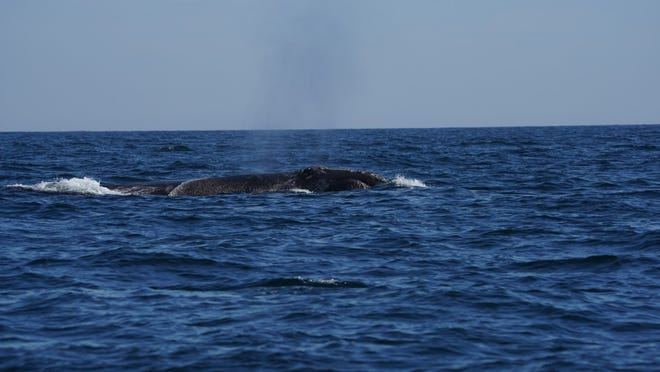 A new population estimate from the National Oceanic and Atmospheric Administration says the number of North Atlantic right whales has dropped to 366.