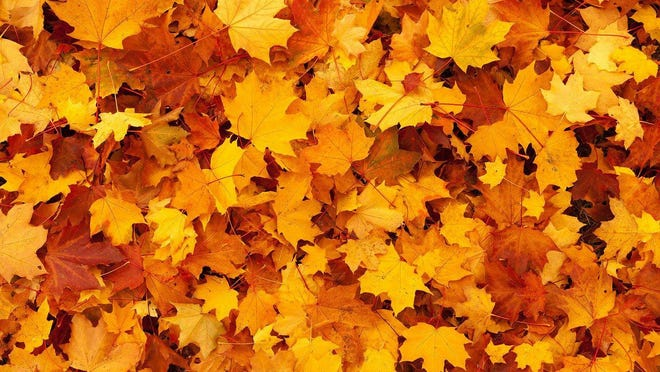 On Oct. 19, the city of Hendersonville will begin its fall bulk leaf collection service for city residents.