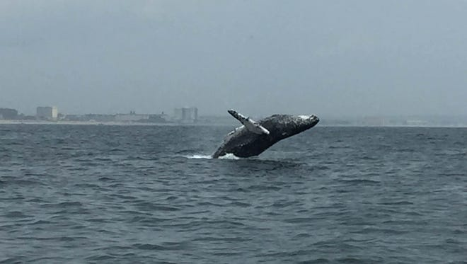 Whale spotted about one mile off Deal in June.