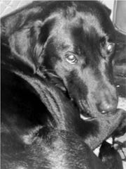 Onyx, a black lab, was Daniel Lynam's eyes for more than nine years until the dog's death from kidney disease last June.