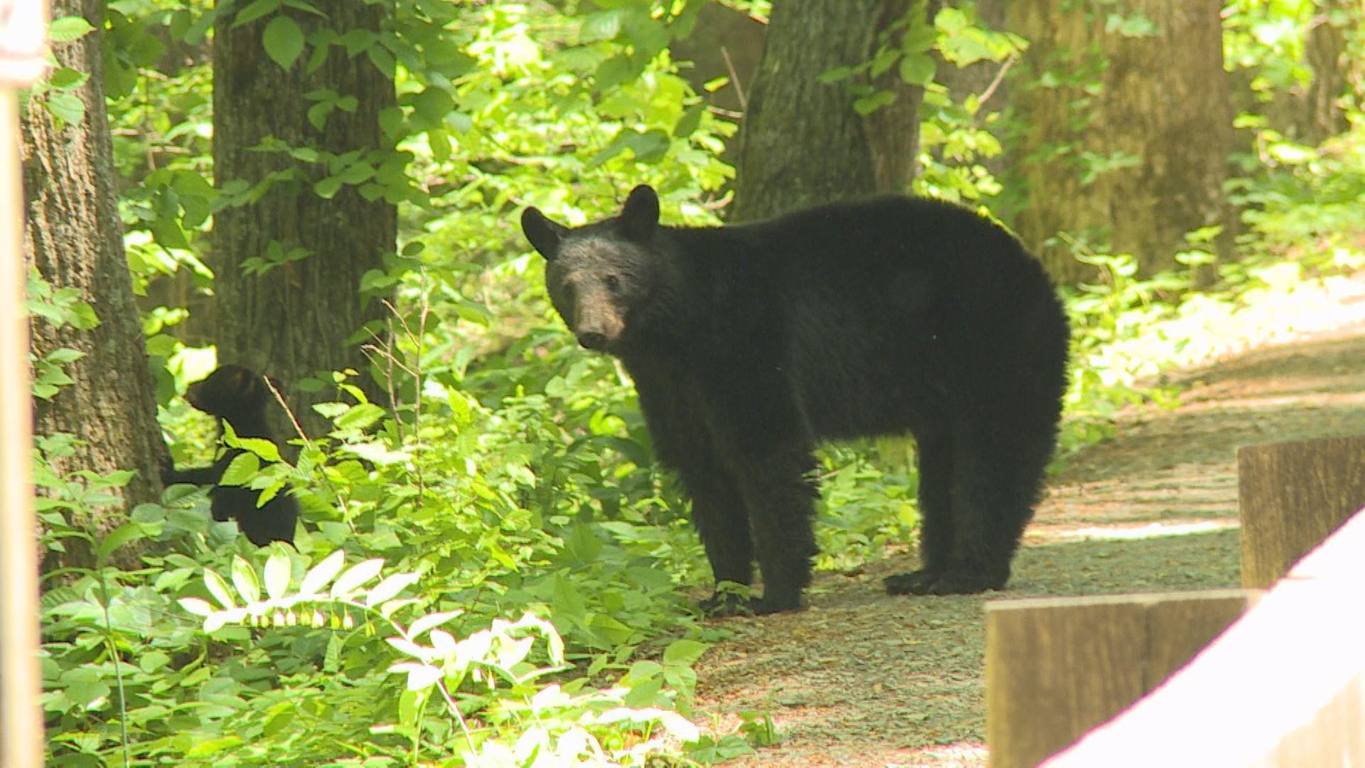 Blackberry Bears of North Carolina