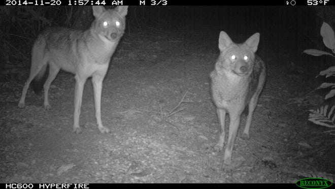 Two coyotes are captured by a trail camera Nov. 20, 2014, at Sanibel's Pond Apple Park. Coyotes have been digging up sea turtle nests on Sanibel and Captiva since 2011.
