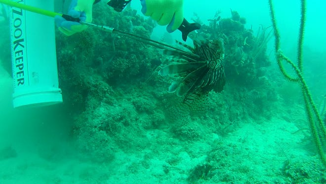 Reporter Kevin Lollar killed this lionfish with a pole spear Aug. 31 in the Keys. A few minutes later, he shot another lionfish, which ruined his day by stinging him on the left thumb.