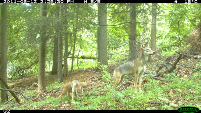 A mother coyote and two pups are captured by an automatic camera in a Yonkers park in June 2011. The photo was submitted by Chris Nagy, a scientist with the Mianus River Gorge Preserve.