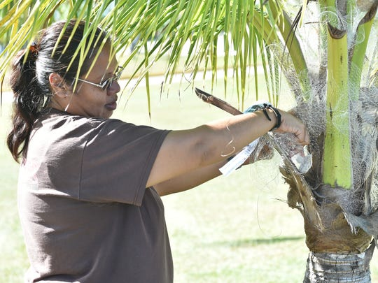 Donna Taitano of the Coconut Rhino Beetle Extraction Team emplaces a bow tie tekken trap at the University of Guam on July 1. The technique ties fishing net in a bow tie pattern around a rock or heavy object, and is then wedged into the base of a palm frond at the crown of the tree.  This technique targets the known entry point of the rhino beetle, makes efficient use of the netting, and is sturdy enough to endure tropical storm force winds, according to Taitano.