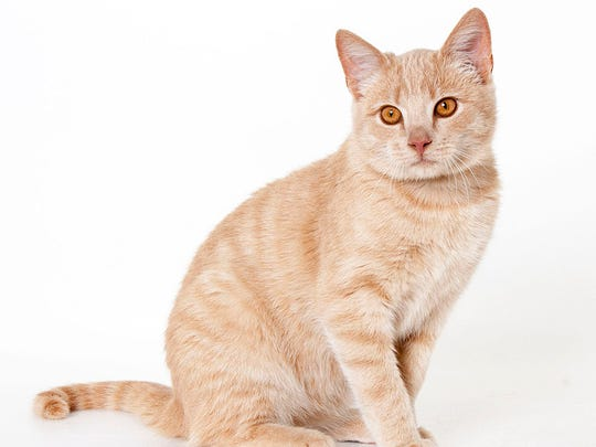 Nacho, 7-month-old male domestic shorthair. No. 94848.