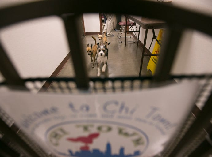 "Chihuahuas run in a hallway  in ""Chi Town,"" Maricopa County Animal Care and Control's shelter-within-a-shelter just for Chihuahuas and Chihuahua mixes."