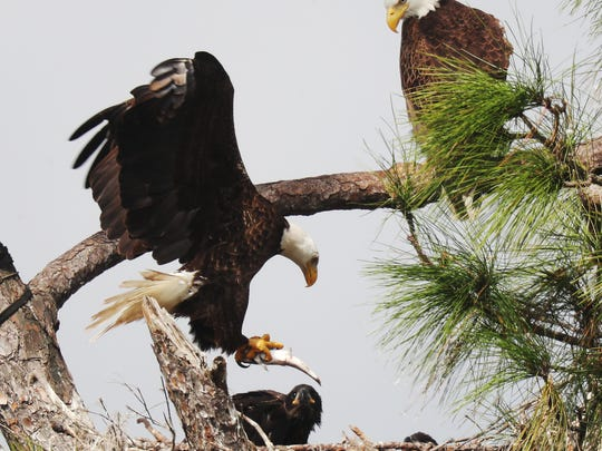 One of the eagles from Southwest Florida Eagle Cam