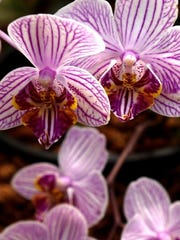 The Fall Orchid Show and Competition is Saturday-Sunday at Krohn Conservatory.