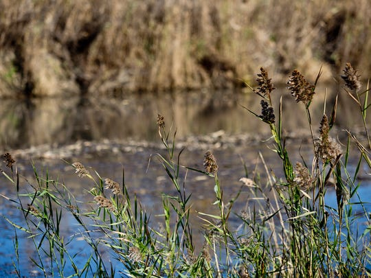 Phragmites is seen growing near Krispin Drain Wednesday, October 14, 2015 on Harsens Island. The $3.5 million project, part of the EPA Great Lakes Restoration Initiative, will widen an dredge Krispin Drain, restore native vegetation and make the waterway navigable to canoes and kayaks.