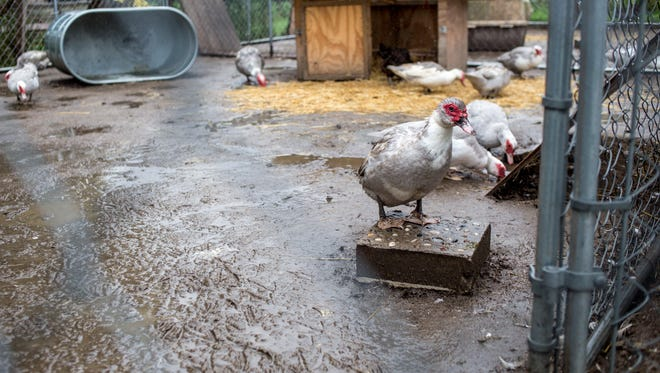 Muscovy ducks enjoy the rain.Today's forecast calls for rain, mainly after noon.