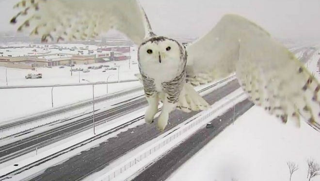A Montreal traffic camera captured an amazing image of a snowy owl in flight over a  highway earlier this week.