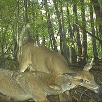 Hunters in coyote contests often claim they help deer herds by removing some predators from the landscape, but the impact is usually limited and short-lived.