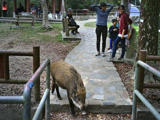 Hong Kong Wild Boar Dilemma (3)