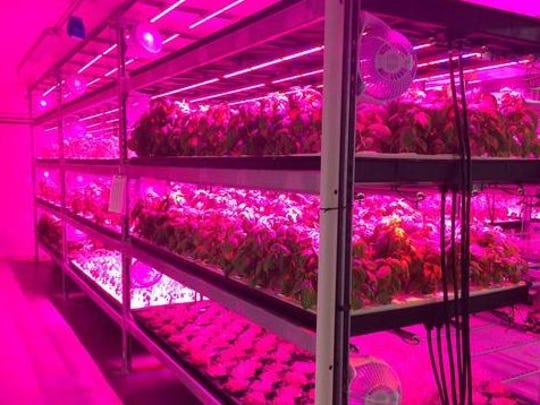 At Ripon's Ernessi Organics, a variety of microgreens and vegetables grow in a basement urban farm.