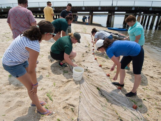 Fish and other sea life are collected during a seining demonstration with members of the media during a Sun Otter Tours stop at Cape Henlopen State Park in Lewes. Sun Otters Tours is a new science-based tour company in Rehoboth.