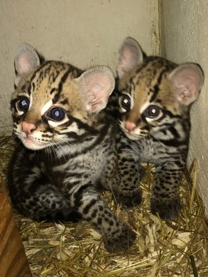 The Greenville Zoo is asking the public to vote on names for two ocelot kittens born in March.