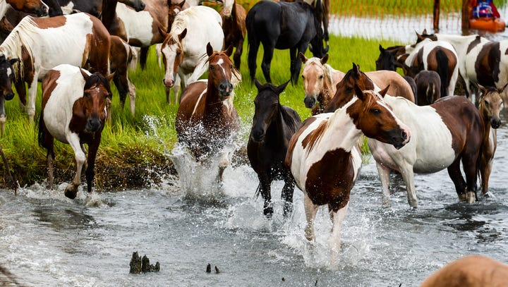 'Check this off my bucket list.' Rain, mud no match for Chincoteague Pony Swim crowd