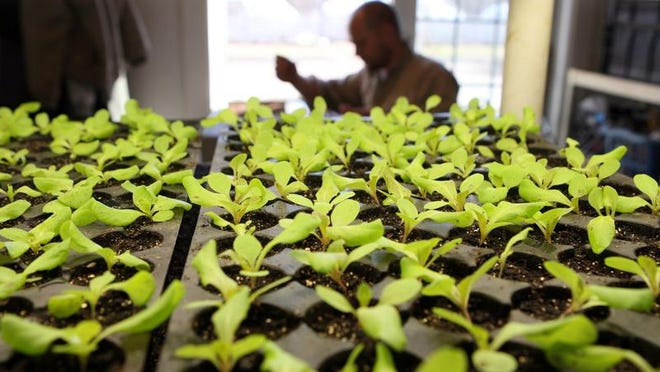 Beginners are often too eager this time of year and start seeds too early. By the time the planting season arrives in mid to late May, seedlings started too early are floppy and suffer severely when transplanted.