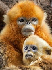 TaoTao, a golden snub-nosed monkey, poses with his