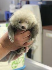 A newborn red panda cub at the Binghamton Zoo.