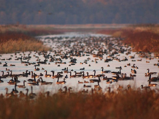 Canada geese and ducks crowd the waters of the Horicon Marsh during migration.