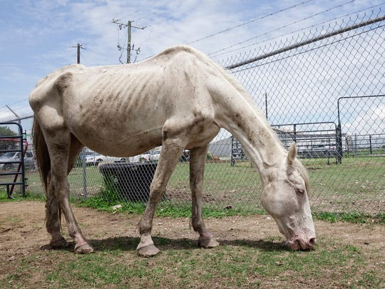 Raggedy Ann, a twenty plus year-old mare, recently seized by St. Landry Parish Control eats in Opelousas Weds., June 28, 2017.