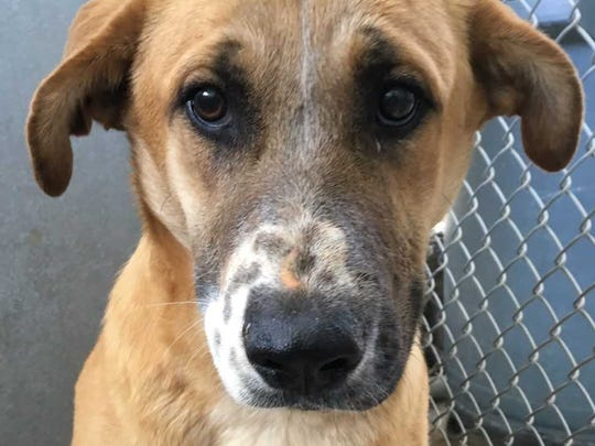 Manny - Male shepherd, about 2 years old. Intake date:4-6-2018
