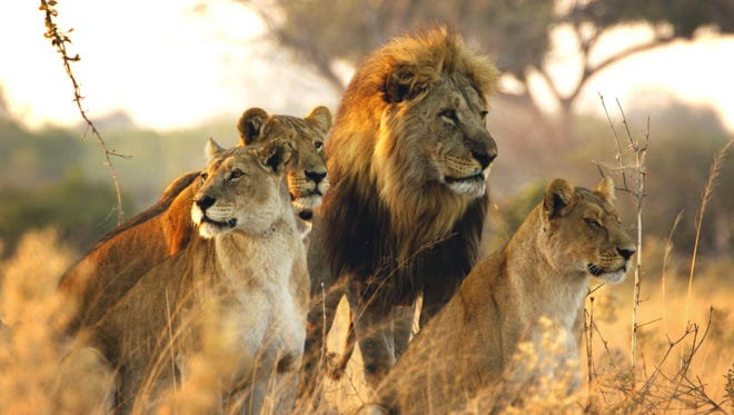Sekekama and members of the Marsh Pride stand together on Savute Marsh in Botswana.